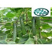 Quality Fresher Breath Cucumber Family Vegetables Beneficial To Cure Gum Disease for sale