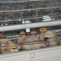 Chicken Brooder Cage For 1 Day Old Baby Chicks Design For Poultry Farm