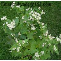 Quality China bulk buckwheat roasted for sale