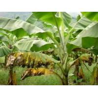 China Banana Leaf Extract, 5:1,10:1 TLC, ingredient for fertilizer and feedstuff, Shaaanxi Yongyuan Bio-Tech, qualified export on sale