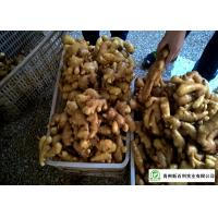 China Mature Organic Fresh Ginger , Wholesale Premium Grade Air Dried Ginger on sale