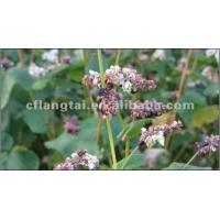 Quality New buckwheat for sale