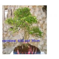 China Bonsai Carmona1 on sale