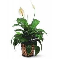 Best Sellers Small Spathiphyllum Plant
