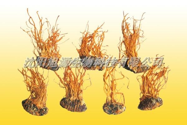 Buy Cordyceps Liquid training base Bacteria a treasure (Cordyceps) fruiting bodies at wholesale prices
