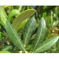 Quality Standardized Extract Olive Leaf (Europe) Extract for sale