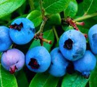 Quality Standardized Extract Blueberry Fruit Extract for sale