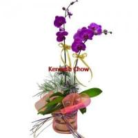 Buy cheap 2pcs Taiwan Orchids from wholesalers