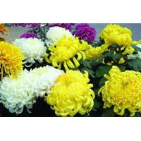 Quality polysaccharides  Chrysanthemum Extract for sale