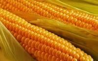 Quality Yellow Corn for sale