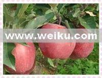 Quality Agriculture huaniu apple for sale