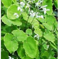 Quality Epimedium P. E. for sale