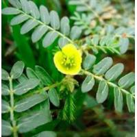 Quality Tribulus Terrestris P. E. for sale