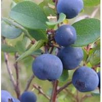 Quality Bilberry P.E.(Origin of Material: China ) for sale
