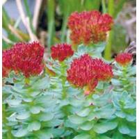 Quality Rhodiola P.E. for sale