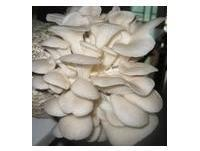 Quality Pleurotus ostreatus Powder for sale