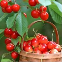 China Product: Big Cherries on sale